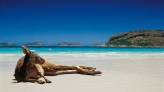 Animals beaches kangaroos landscapes lying down wallpaper