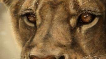 Animals big cats brown eyes lions wallpaper