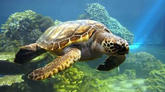 Animals coral reef nature sea turtles Wallpaper