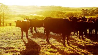 Animals fields cows sunlight cattle wallpaper