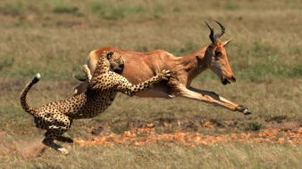 Animals nature panthers speed wallpaper