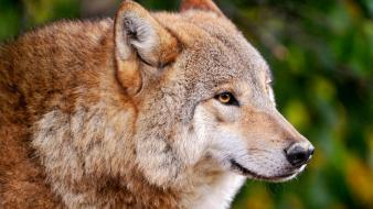 Animals predator wild wolves wallpaper