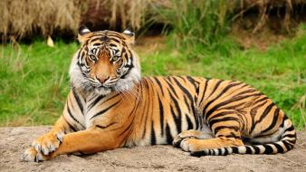 Animals stripes tigers wallpaper