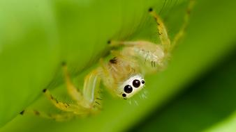 Arachnids jumping spider macro spiders wallpaper