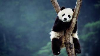Bing china animals blurred background panda bears wallpaper