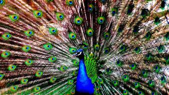 Birds animals peacocks peacock wallpaper