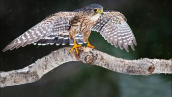 Birds falcon bird branches wallpaper
