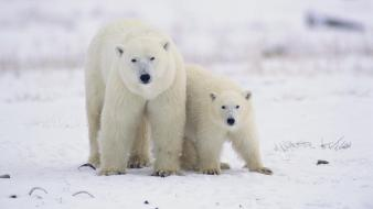Canada animals baby polar bears wallpaper