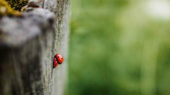 Insects macro depth of field ladybirds blurred background wallpaper