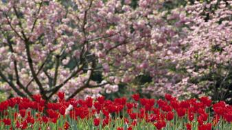 North carolina flowered trees flowers red tulips wallpaper
