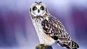 Owl pictures Wallpaper