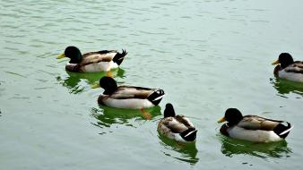 Water nature birds animals ducks ripples lakes wallpaper