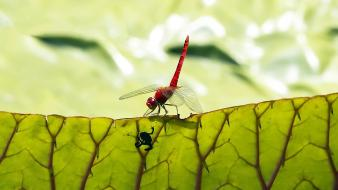 Amphibians animals depth of field dragonflies frogs wallpaper