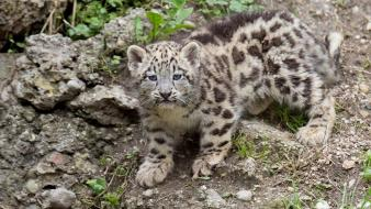 Animals baby cubs snow leopards wallpaper