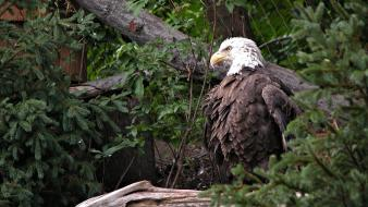 Animals bald eagles birds natural scenery wallpaper