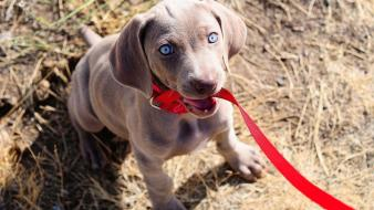 Animals blue eyes dogs leash wallpaper