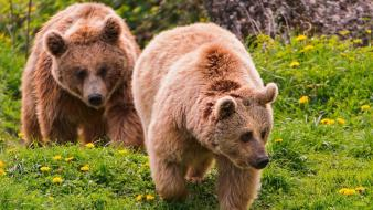 Animals grizzly bears nature wallpaper