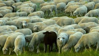 Animals nature sheep wallpaper