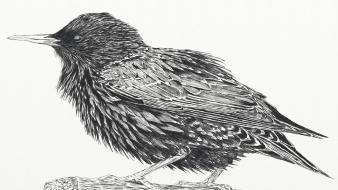 Birds feathers sketches starling Wallpaper
