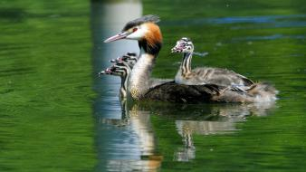 Birds great crested grebe nature wallpaper