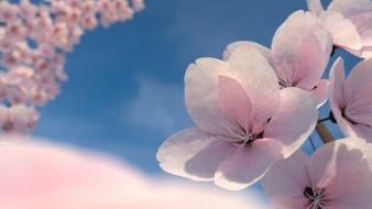 Blossom cherry blossoms flowers nature pink wallpaper