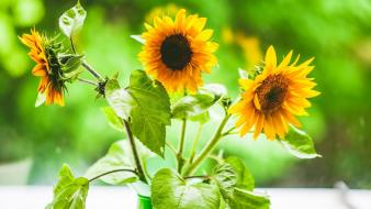 Blurred background flowers leaves sunflowers yellow wallpaper
