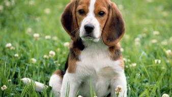 Cute beagle puppies wallpaper