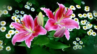 Flowers lilies Wallpaper