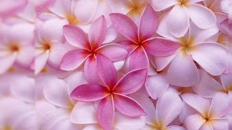 Flowers multicolor nature pink plumeria wallpaper