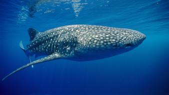 Papua new guinea ocean underwater whale shark wallpaper