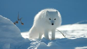 Snow fox pictures wallpaper