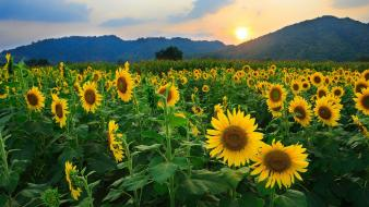 Sun flowers skies wallpaper