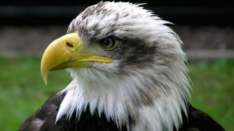 Animals bald eagles birds nature wallpaper