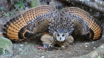 Animals birds owls prey wallpaper