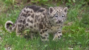 Animals cubs gepard wallpaper