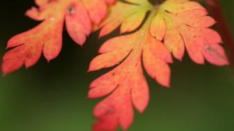 Autumn closeup flowers leaves macro wallpaper