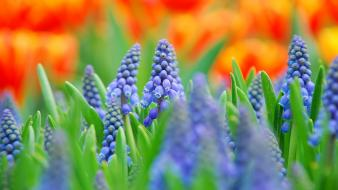 Blue flowers depth of field muscari plants wallpaper