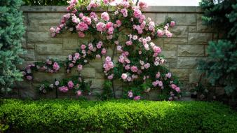 Flowers garden hedges pink wall wallpaper