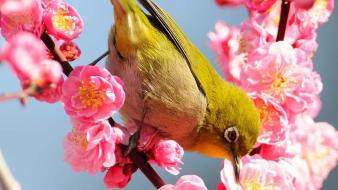 Japan japanese white-eye birds cherry blossoms close-up wallpaper