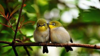 Japanese white-eye affection birds branches nature wallpaper