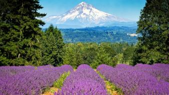 Mt. hood oregon flowers lavender mountains Wallpaper