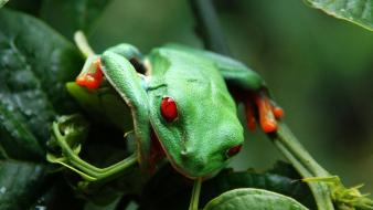 Red-eyed tree frog amphibians animals frogs green wallpaper