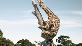 Viral animals giraffes wallpaper