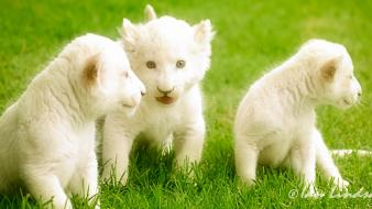 White lion cubs wallpaper