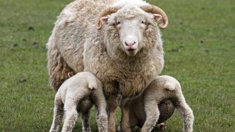Animals baby lambs sheep wallpaper