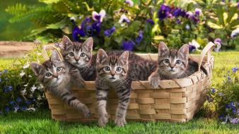Animals baskets cats cubs domestic cat wallpaper