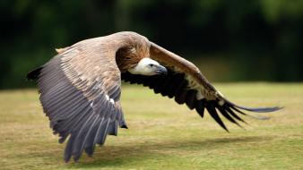 Animals bird of prey birds flight vultures wallpaper