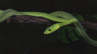 Animals green mamba reptiles snakes wallpaper