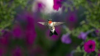 Animals hummingbirds nature Wallpaper