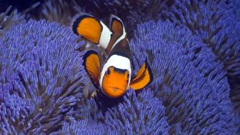 Indonesia animals clownfish fish sea anemones wallpaper